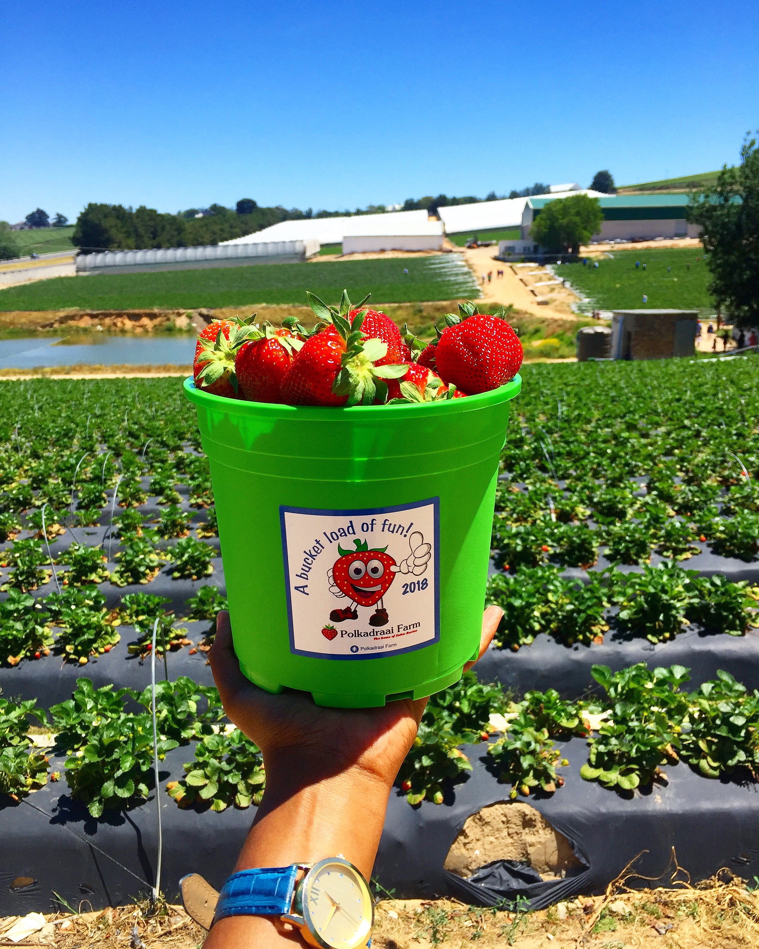 You are currently viewing Strawberry picking at Polkadraai Strawberry farm
